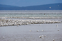 Gulls gathered on beach during herring spawn,  Vancouver Island, French Creek , British Columbia, Canada
