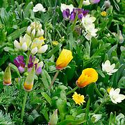 Wildflowers, Point Reyes National Seashore, California
