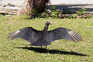 A black vulture spreading its wings to absorb sunlight and warm up. Black vultures, Coragyps atratus, also known as the American black vulture.