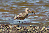 Marbled Godwit photo Hawaii