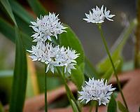 White Allium Image taken with a Nikon 1V3 camera and 70-300 mm VR lens