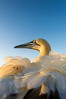 Cape Gannet and Ruffled Feathers, Malgas Island, West Coast National Park, Western Cape, South Africa