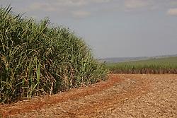 Plantacao de cana de acucar / Plantation of  sugarcane. Sao Paulo, Brasil - 2008
