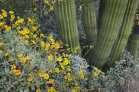 Brittlebush (Encelia farinosa) and Organ Pipe Cactus (Stenocereus thurberi),  Organ Pipe Cactus National Monument Arizona