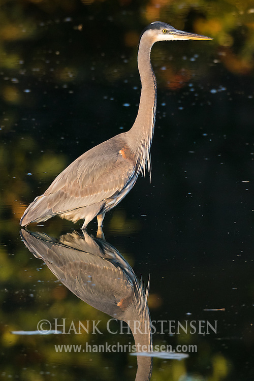 A great blue heron stalks fish in still shallow water, Belmont, CA.
