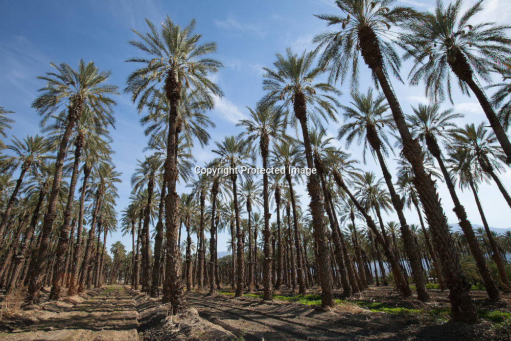 Growing dates fruint in the Imperial Valley, Southern California