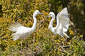 White Heron Pictures - Photos