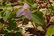 Large-flowered Trillium - Trillium