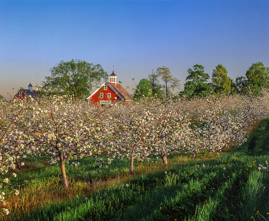 Apple trees in bloom in spring, with view to two red barns, Hollis, NH