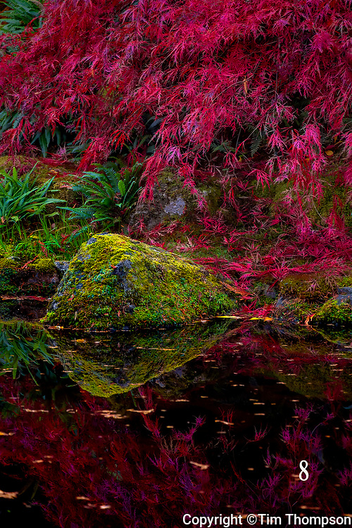 Japanese Maple braches and pond reflection