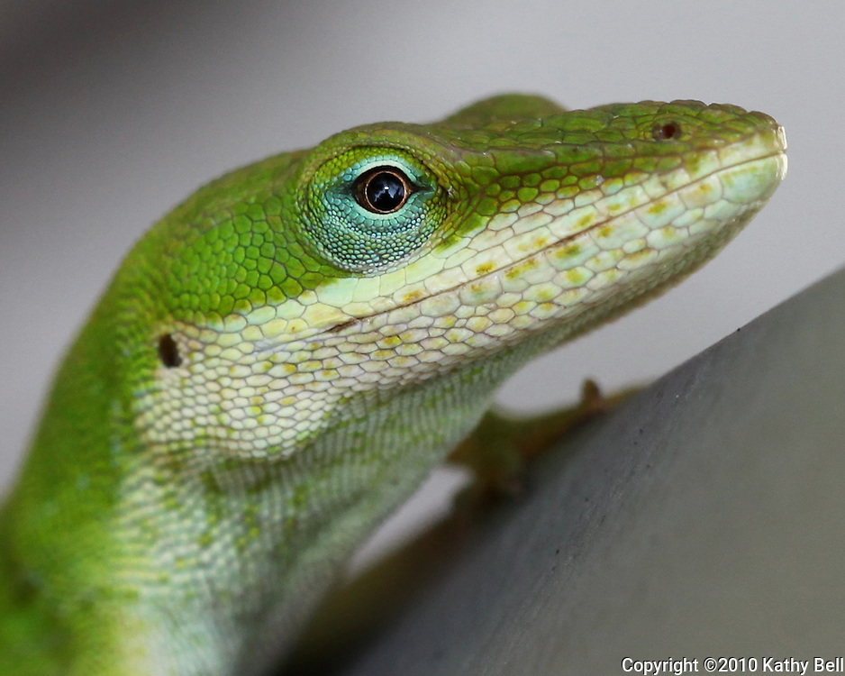 Image of a green anole