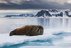 Walrus (Odobenus rosmarus) near Spitsbergen, Svalbard