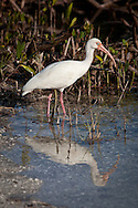 A white ibis searches for food in the Ding Darling Wildlife Refuge, Sanibel, Florida.