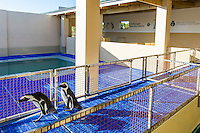 African Penguins at a rehabilitation center, African Penguin & Seabird Sanctuary, Kleinbaai, Western Cape, South Africa