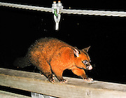 The Common Brushtail Possum, a native of Australia, is an unwanted pest in New Zealand.