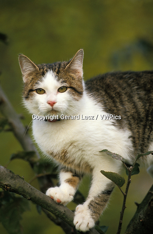 Domestic Cat, Adult standing in Tree