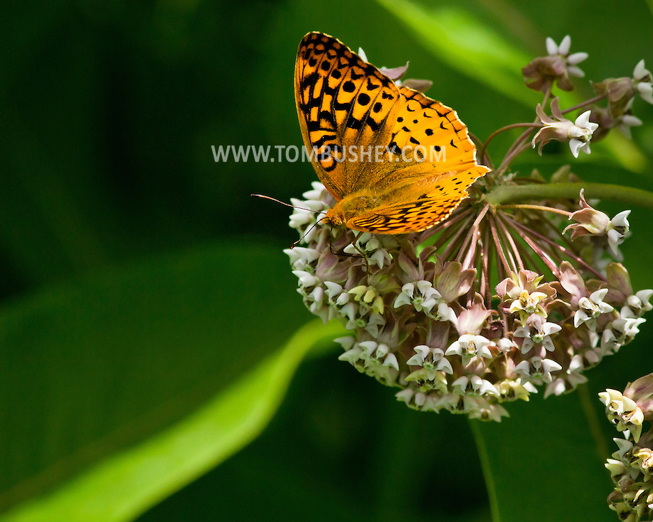 Cornwall, New York  - A silvery checkerspot butterfly feeds on a milkweed plant at the Cornwall Library  on June 26, 2014.