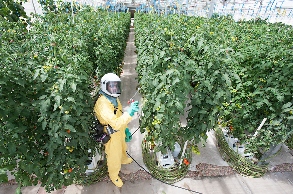 Working spraying hydroponic tomatoes