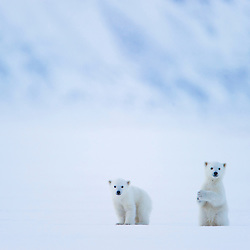 Polar bear cubs follow their mother across Wijdefjorden in search of seals. Svalbard, Norway.