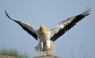 Egyptian vulture, Faia Brava reserve, Côa valley,.Portugal