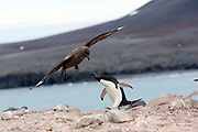 Jan 25, 2017 - Penguin Island, Antarctica - An Adelie penguin fights off a South Polar skua on Penguin Island, South Shetland Islands, Skuas eat penguin eggs and chicks as well as fish and krill. <br />  &copy;Ann Inger Johansson/zReportage/Exclusivexpix media