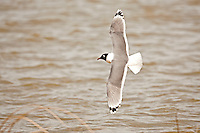 Franklin's Gull fly's over the Great Salt Lake in northern Utah.