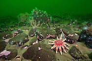 A common sunstar (Crossaster papposus), brittlestars, sealoch anemones form a typical undersea community in a Scottish sea loch. Loch Duich, Ross and Cromarty, Scotland, British Isles. North East Atlantic Ocean.