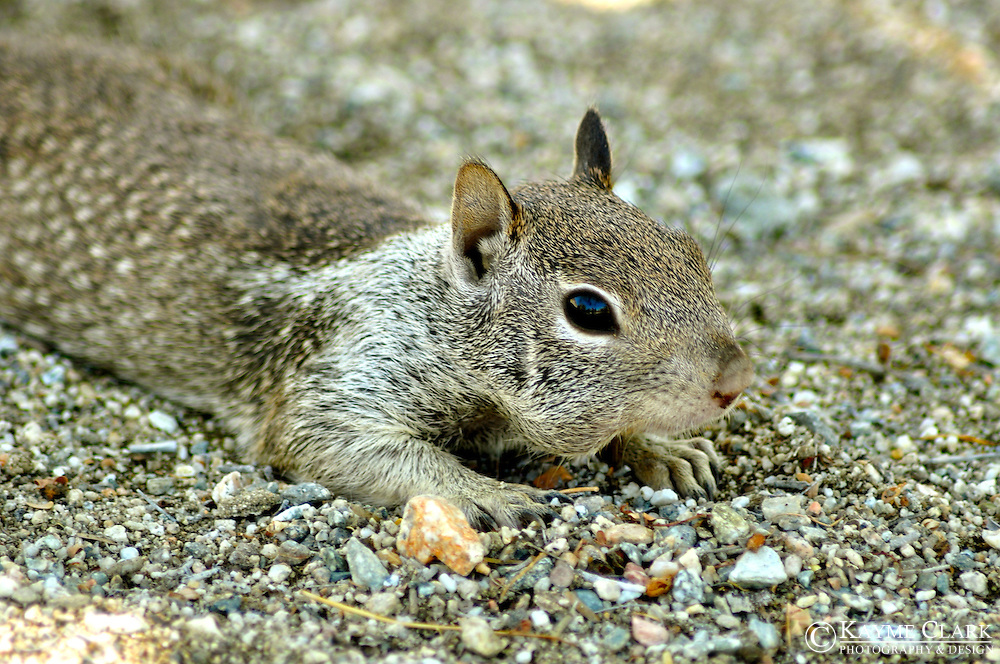 Squirrel (sciuridae)