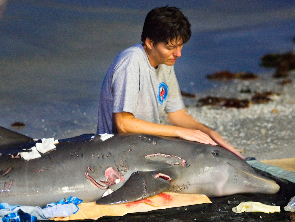 Clearwater Marine Aquarium volunteer Lisa Terrill tries to soothe a dolphin which was brought onto North Redington Beach after it was attacked by a shark. After hours of trying to help the animal, it had to be euthanized. According to Diane Young, Director of Stranding Program at Clearwater Marine Aquarium, the dolphin was underweight and appeared to have a previous health condition that may have brought on the unusual shark attack.