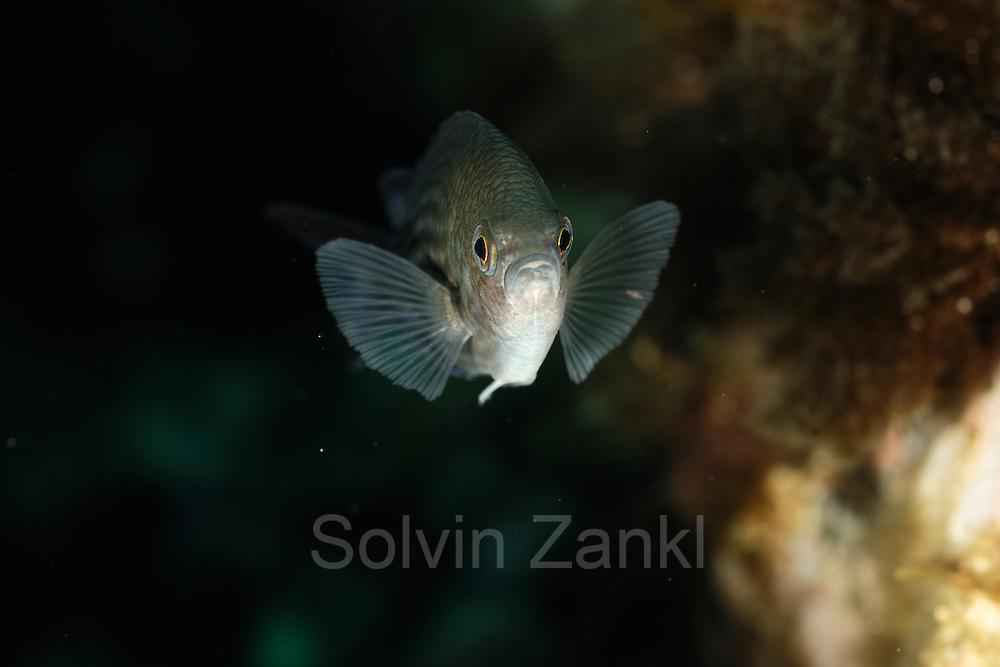 Damselfish (Chromis chromis) | Mönchsfisch (Chromis chromis)