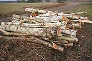Silver birch timber logs piled up, Sutton Heath, Suffolk, England