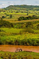 Donkey grazing by a river in Jiga, Amhara region, Ethiopia.