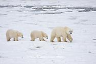 01874-11608 Polar Bears (Ursus maritimus) female and 2 cubs, Churchill Wildlife Management Area,  MB