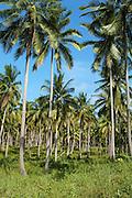 palm tree plantation, Ko Samui, Thailand