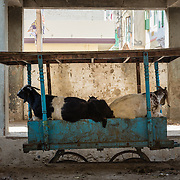 Goats sleeping on wooden cart in old town Udaipur