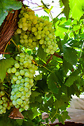 A large cluster of green grapes growing in a bunch on vine. Photographed in Israel