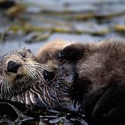 Sea Otter, (Enhydra lutris) Mother holding baby on belly. Aleutian Islands. Alaska.