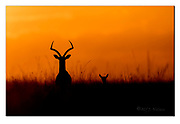 Mother and baby Gratns Gazella watching the beautiful sunrize of Maasai Mara, Kenya. Nikon D5, 600mm f4, EV-1, 1/5000sec, ISO250, aperture prioriti