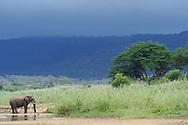 Elephant, Loxodonta africana,<br /> ,iMfolozi NP, South Africa