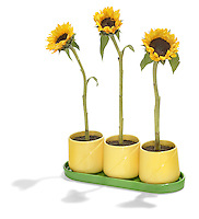green and yellow sunflowers in an indoor pot
