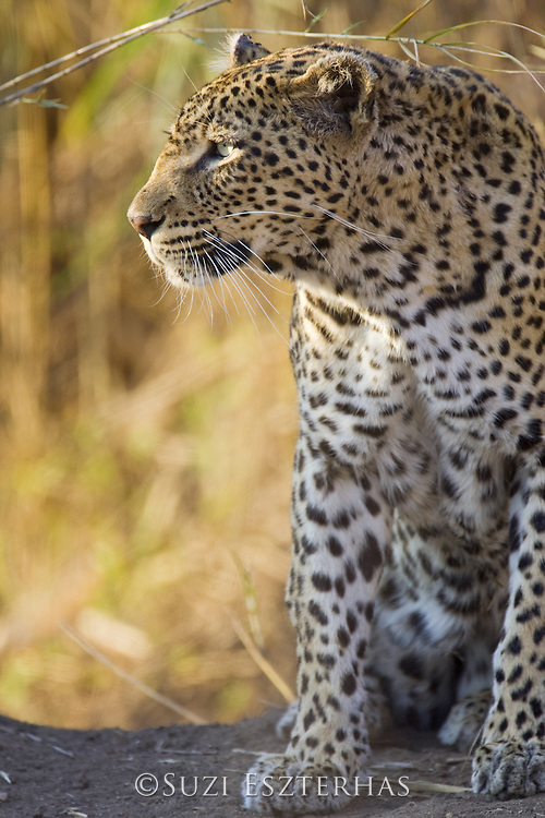 Leopard<br /> Panthera pardus<br /> Mala Mala Game Reserve, South Africa