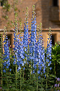 Early morning light on Delphinium Pacific hybrid, a blue delphium at Lower Severalls Farmhouse,  Crewkerne, Somerset, UK