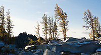 Larch trees in the Enchantment Lakes Wilderness Area, Washington Cascades, USA.
