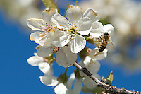 Honey bees are rented out by cherry farmers in the spring to inusre pollination of their orchards. The bees are delivered for a 1 to 2 week period when the bees cover up to a mile in radius visiting blooming Cherry trees.