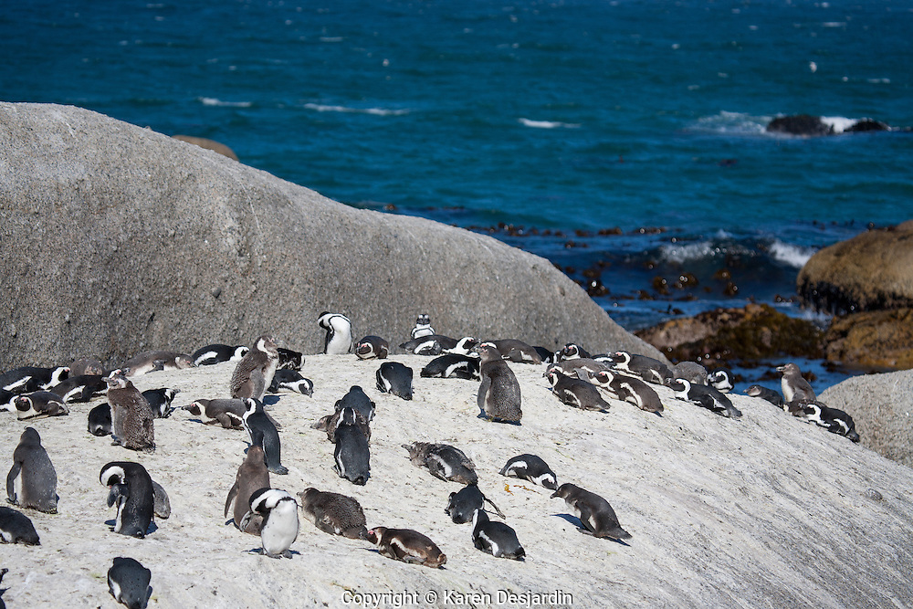 A colony of African penguins at Boulders Beach, South Africa.