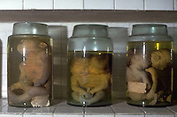 April 1993, Ho Chi Minh City, Vietnam --- Jars of fetuses deformed because of the mother's exposure to the herbicide Agent Orange, Ho Chi Minh City, Vietnam. --- Image by © Owen FrankenS