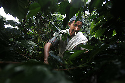 Workers pick coffee at El Combia, a working coffee farm that also has a hacienda for tourists. The tourism industry is slowly emerging in Quindio, the Colombian coffee country.  Old coffee haciendas have been turned into new hotels catering to tourists.  The countryside, some of the most beautiful in the country, is a popular weekend getaway spot where visitors can participate in a variety of outdoor activities as well as learn about coffee production.