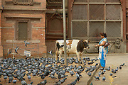 A woman feeds pigeons in Durbar Square as a cow looks on. Cows wander the streets of Kathmandu freely often causing traffic choas. The cow remains a protected animal in Hinduism today and Hindus do not eat beef. .