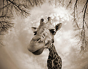 A close up shot of a Giraffe (Giraffa camelopardalis) using a fisheye lens.