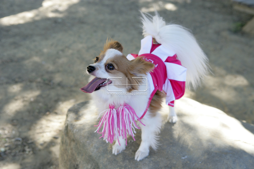 31st October 2009. Topanga, California. Much Love Animal Rescue's 6th Annual Bow Wow Ween! an annual Halloween event that helps find homes for stray animals and neglected pets. Pictured is Indiana the Papillon dressed as a cheerleader. PHOTO © JOHN CHAPPLE / www.chapple.biz.john@chapple.biz  (001) 310 570 9100.